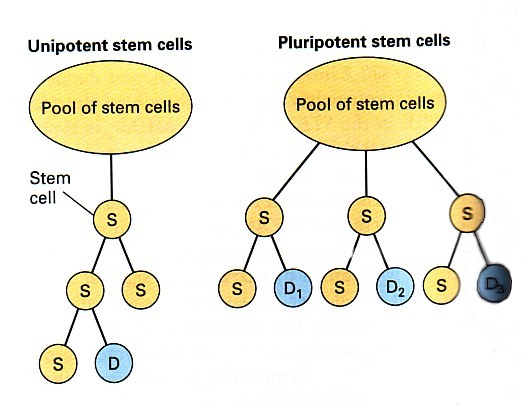 Tok Biology Stem Cell