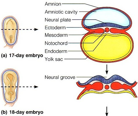 embryonic engineering