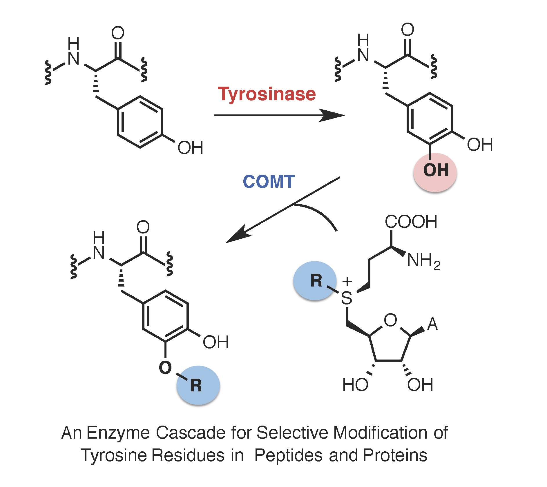 2 biocatalysis and enzyme mechanism micklefield lab our lab also provided the first example of a temperature dependent switch in enzyme class showing how phenylalanine aminomutase enzymes become lyase pooptronica Images